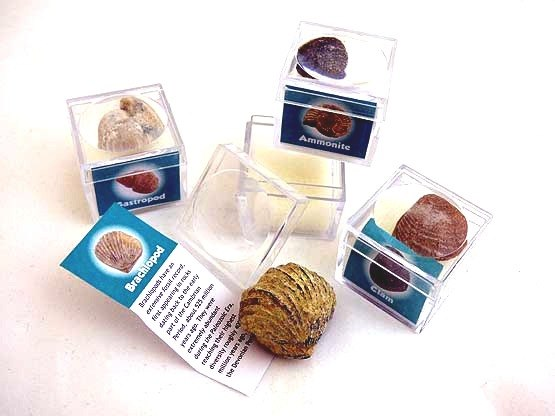 Real Mini Collector's Fossil